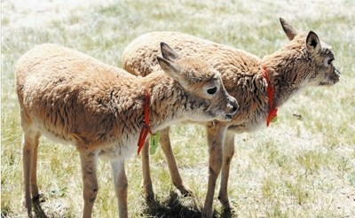 藏原羚,野牦牛,藏野驴等高原珍稀野生动物339头(只),其中藏羚羊251只