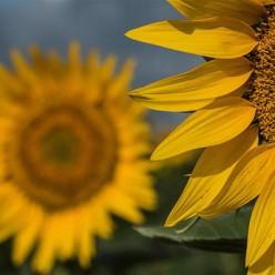 法国埃斯南代向日葵