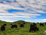 牦牛:温暖了草原温暖了家