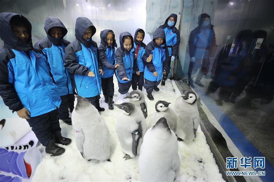 11月25日,小学生与帝企鹅互动。 当日,来自广州和珠海的小学生代表来到珠海长隆海洋王国,参加企鹅关爱活动,零距离接触今年新生的帝企鹅。本次活动旨在加强极地科普教育,提高小学生保护动物和呵护极地的意识。 新华社记者 卢烨 摄