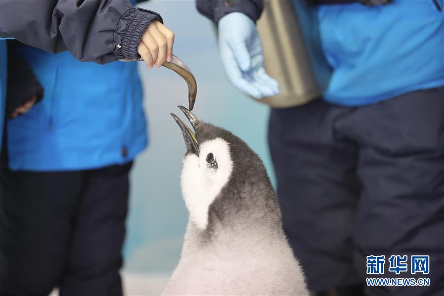 11月25日,小学生给帝企鹅喂食。 当日,来自广州和珠海的小学生代表来到珠海长隆海洋王国,参加企鹅关爱活动,零距离接触今年新生的帝企鹅。本次活动旨在加强极地科普教育,提高小学生保护动物和呵护极地的意识。 新华社记者 卢烨 摄