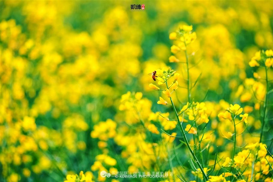 我们的无人机升到高空,整个莲湖公园的油菜花田,清风吹拂,油菜花一波一波摆动,从空中可以看到黄色的花朵和绿色的叶子像波浪一样。