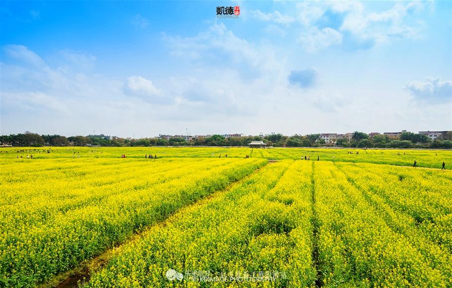 这个美丽的春天,找个周末赶紧来看看中国最早盛开的油菜花田吧!