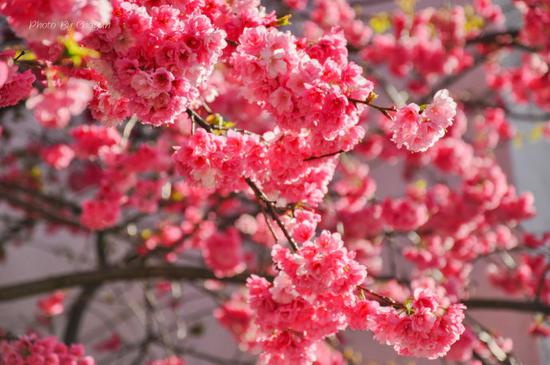 大理一年四季都很美,但正如那首脍炙人口的名歌《大理三月好风光》一样,如果让我推荐,春天的大理一定是最多姿多彩、令人着迷的。  风花雪月一直是大理的活招牌,而花儿最为娇艳的时节莫过于三月,每年这个时候,总有大批游客到此赏花,无论是苍山西坡红艳艳的杜鹃,还是洱源茈碧湖畔的白色梨花,或是大理大学粉嫩可爱的樱花,都美得让人惊叹。三月的大理,春光明媚,花季正好,让我带你去大理赏花吧!    很久以前就听说大理大学的樱花很美,其实不止是樱花,这个坐落在大理古城的美丽大学有着梅花、桃花、玉兰、樱花等多种花类,冬樱谢了