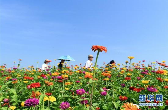 9月4日,游客在长春市莲花山生态旅游度假区花田里赏花。 近日,吉林省长春市莲花山生态旅游度假区2100余亩花海向市民全面开放,吸引了众多游客前来观赏。 新华社记者林宏摄