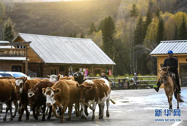 在新疆阿勒泰喀纳斯景区禾木村,一名牧民赶着牛群回家(9月26日摄)。 金秋时节,新疆喀纳斯景区景色如画。高远的天空、唯美的景致,吸引天南海北的游客来到此处休闲游玩。 新华社记者 王菲 摄