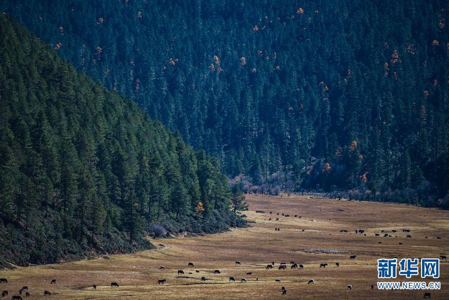 在普达措国家公园内,牲畜在洛茸村民小组附近的草甸上吃草(11月6日摄)。新华社记者 胡超 摄