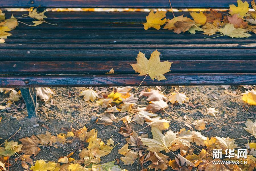 这是在比利时布鲁塞尔五十周年纪念公园拍摄的落叶(11月20日摄)。新华社记者 张铖 摄  深秋时节,比利时首都布鲁塞尔景色怡人。