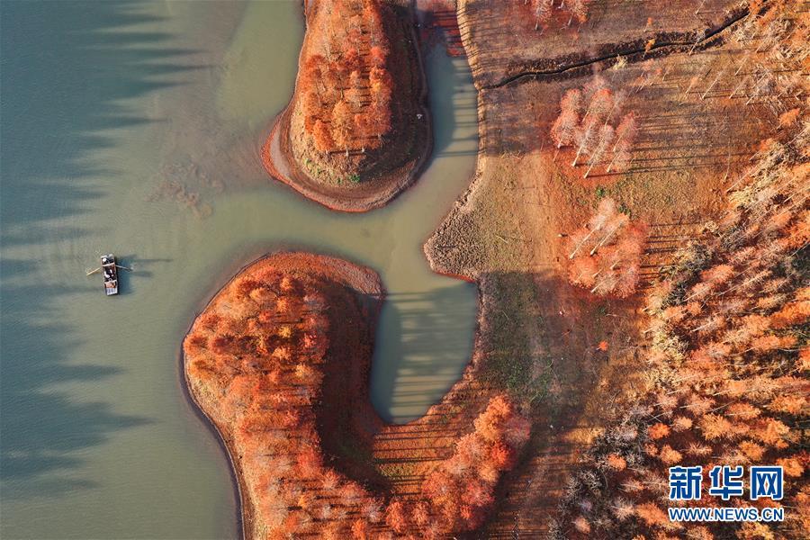 11月28日,一艘小船驶过天泉湖畔的红杉林(无人机拍摄)。 新华社记者 杨磊 摄