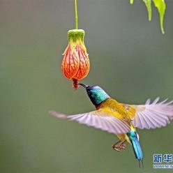 """福州:""""亚洲蜂鸟""""悬停觅食"""