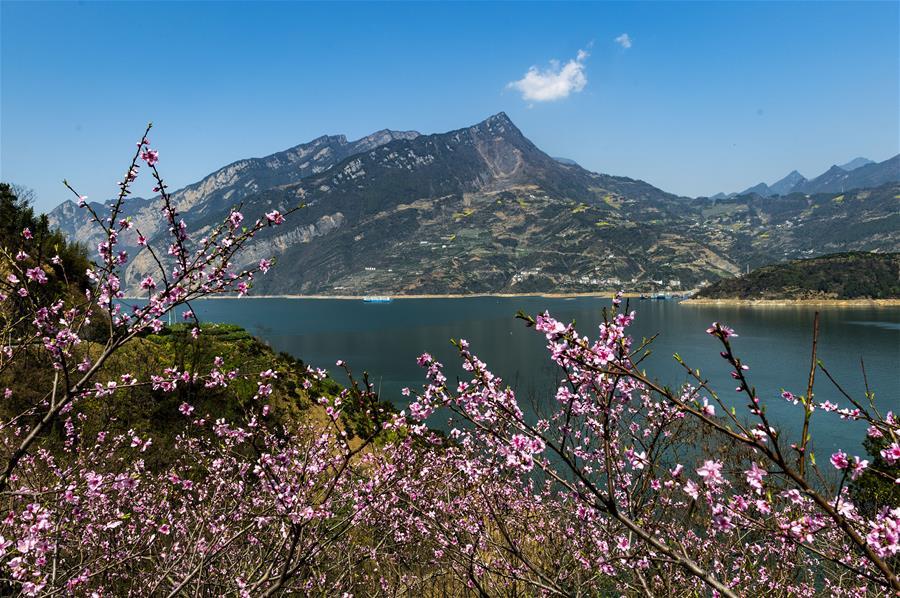 3月14日在长江三峡湖北省秭归县西陵峡江段拍摄的春景。 随着气温升高,三峡库区山花烂漫,春意盎然。 新华社发(郑家裕 摄)