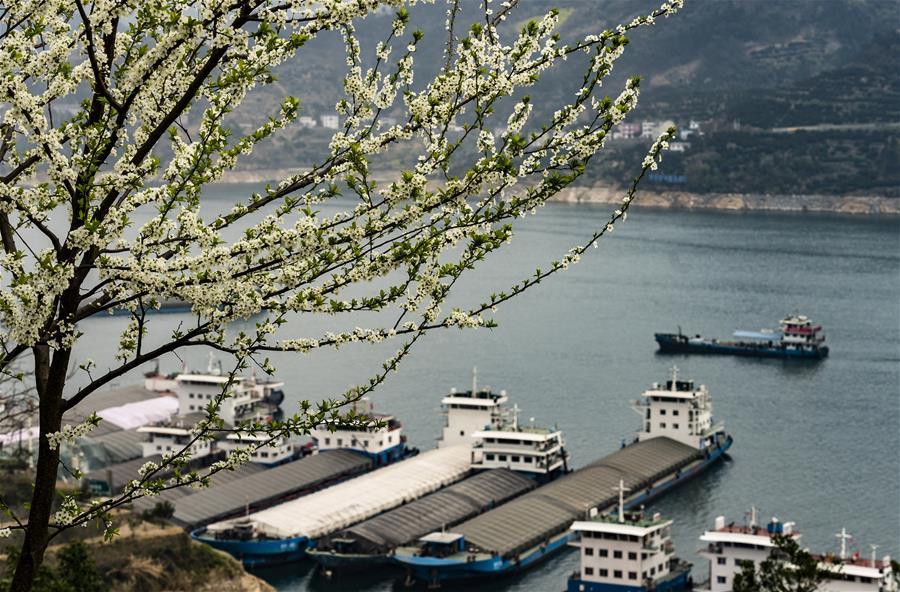 3月15日,船舶从三峡大坝上游湖北省秭归县沙湾锚地驶过。 随着气温升高,三峡库区山花烂漫,春意盎然。 新华社发(向红梅 摄)