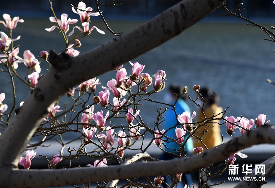 3月14日,两名行人从国家大剧院附近绽放的玉兰花下走过。连日来,北京天气晴好,街头的玉兰花吐露芬芳。新华社记者 罗晓光 摄