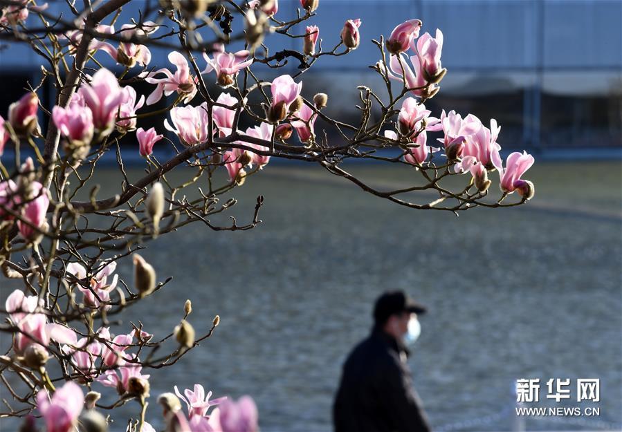 3月14日,行人从国家大剧院附近绽放的玉兰花下走过。连日来,北京天气晴好,街头的玉兰花吐露芬芳。新华社记者 罗晓光 摄