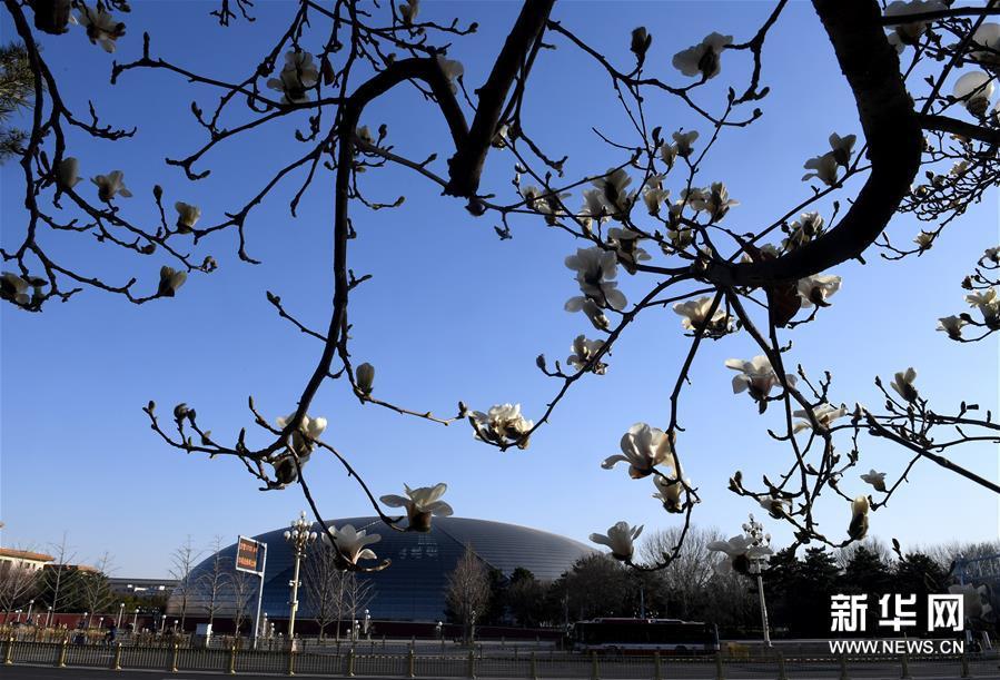 3月14日在北京国家大剧院附近拍摄的玉兰花。连日来,北京天气晴好,街头的玉兰花吐露芬芳。新华社记者 罗晓光 摄