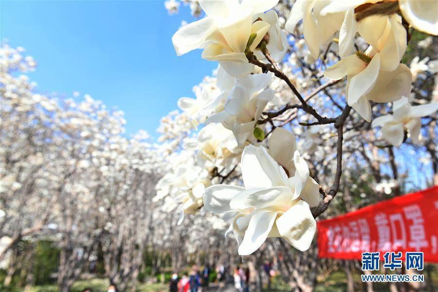 3月18日拍摄的百花公园内盛开的玉兰花。 近日,随着气温升高,山东济南百花公园内繁花似锦,春意盎然。 新华社记者 朱峥 摄