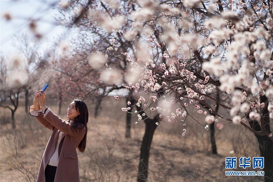 3月17日,游客在河北省内丘县柳林镇杜家台村杏林内赏花拍照。 气温回升,各地春暖花开,一派盎然春意。 新华社发(刘继东 摄)