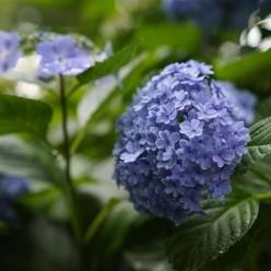 东京丰岛园绣球花盛开