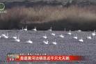贵德黄河边栖息近千只大天鹅