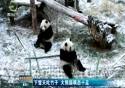 下雪天吃竹子 大熊猫萌态十足