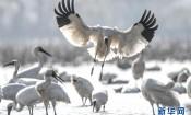 鄱阳湖上白鹤飞——从白鹤迁徙路线之变看生态文明建设