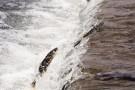 湟鱼洄游的那些河流