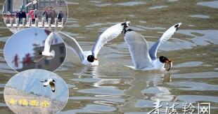湟水河清了 棕头鸥来了