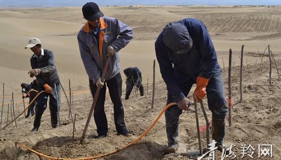 植树进行时,乌柳插杆与水钻造林更配