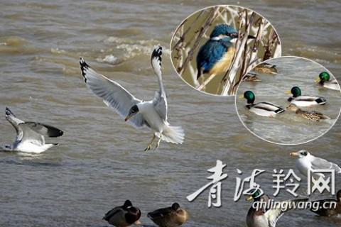 湟水河,鸟儿冬季的驿站