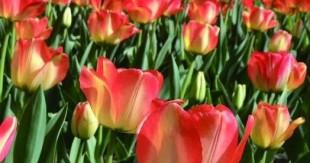 又是一个郁金香花开的五月