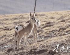 玉树:野生动物重要的栖息地