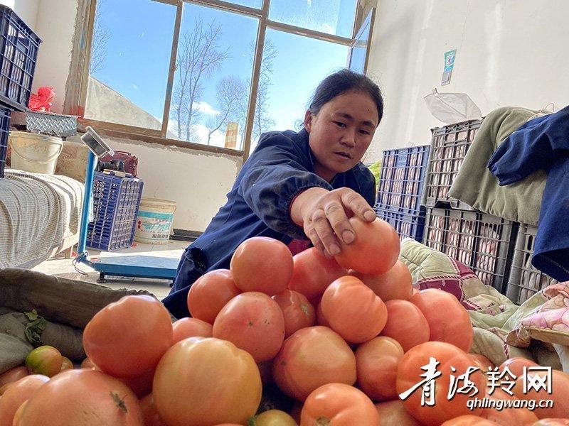 无土栽培的西红柿熟了!
