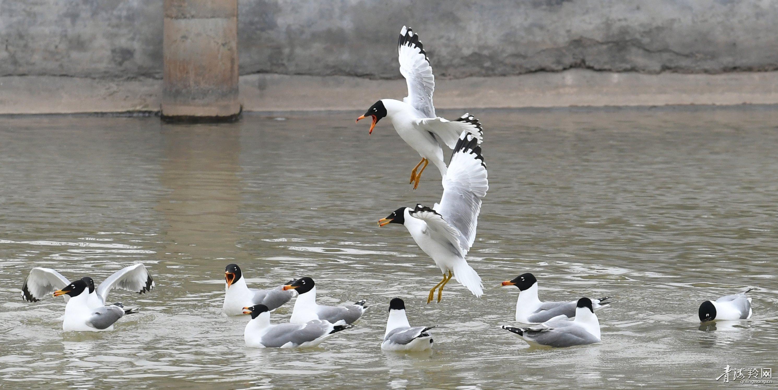 渔鸥湟水河沿线停留觅食