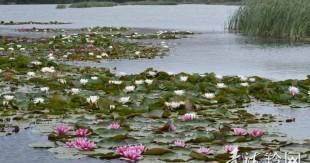朵朵荷花,折射贵德生态之美
