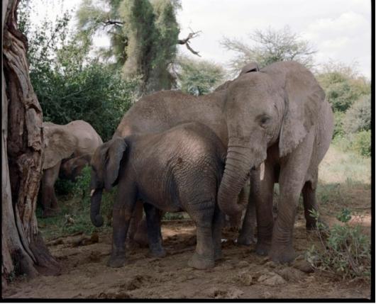大象拥有着悠久的繁衍历史,是地球上最古老和曾经最占优势的动物类群