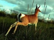 普氏原羚——比藏羚羊还稀少的高原精灵!