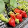有吃有送!3月18日第九届西宁市城北区草莓文化节等你