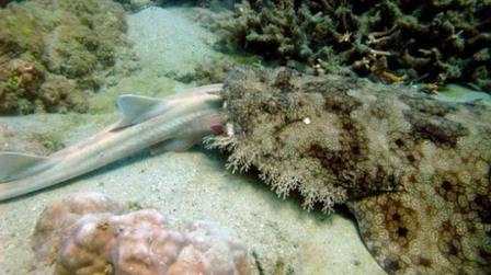 早前科学家认为须鲨的猎物通常是一些如同水蛇的较小生物,然而在对其