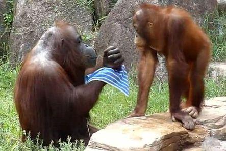 青羚网-日本动物园猩猩用毛巾洗脸