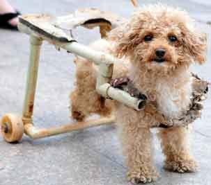 21日,南昌小动物保护协会举办的公益活动现场,一只后肢瘫痪,靠轮椅